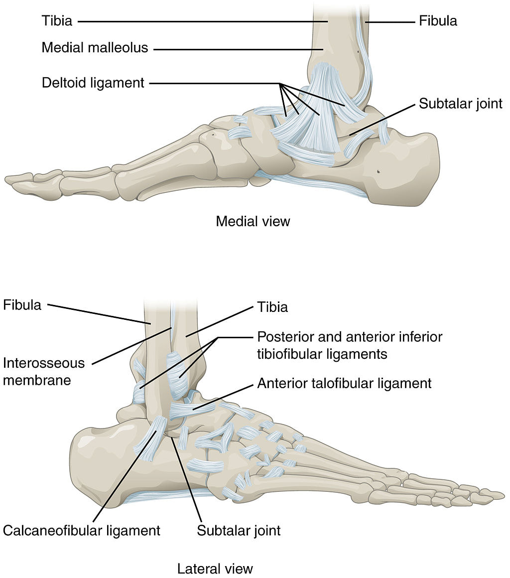 The ankle: joint structure, movements, muscles