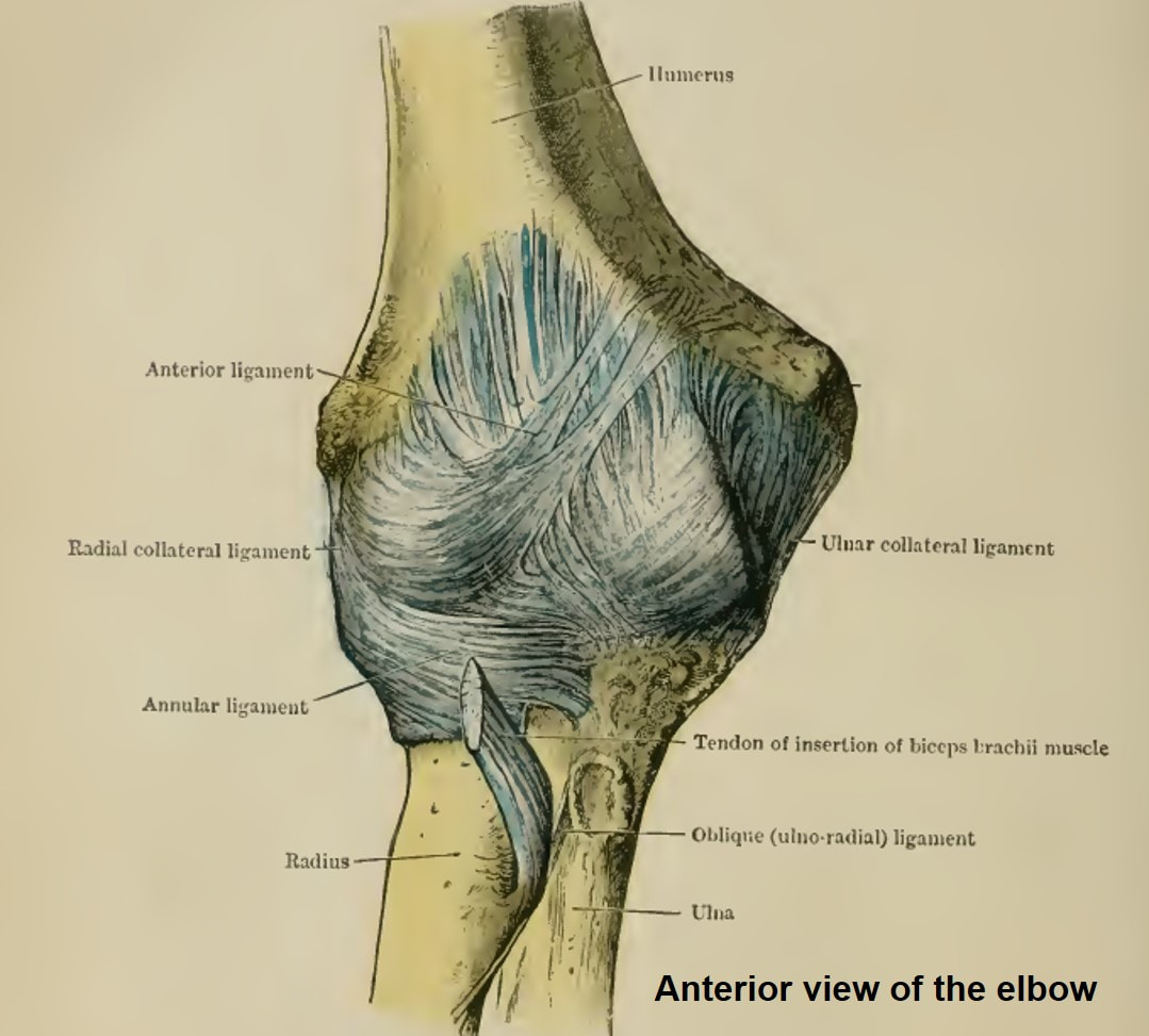 The elbow: joint structure, movements and muscles