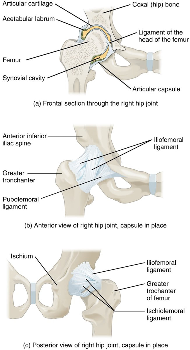 The Hip Joint Structure Movements And Muscles