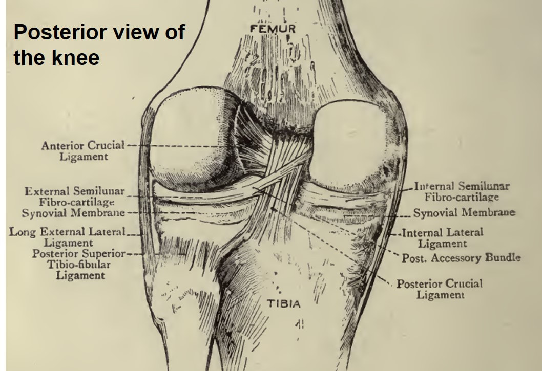 The knee: joint structure, movements and muscles